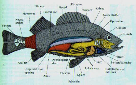 Osteichthyes for Types of bony fish